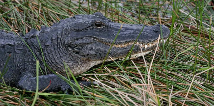 El ataque del caimán se prdujo en un lago de Silver Lakes Rotary Nature Park (horizontal-x3)