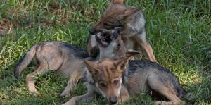 Cría de lobos