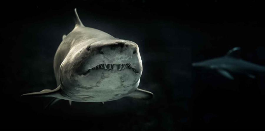 Unas 60 especies de tiburones existen en Florida. (horizontal-x3)