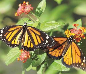 Protegiendo a las mariposas monarca