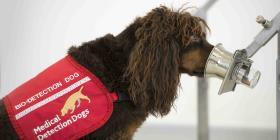 Investigan si perros entrenados pueden detectar el COVID-19