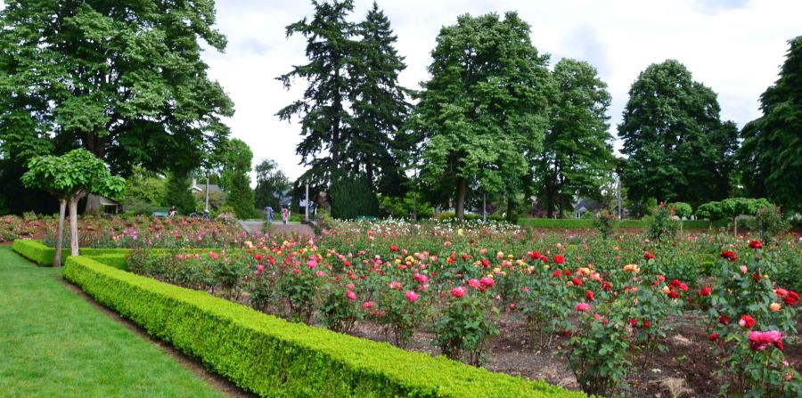 Jardín de rosas en Portland, Oregon. (Shutterstock.com)