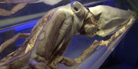 Un estudio revela que los calamares podrían ser una alternativa al plástico