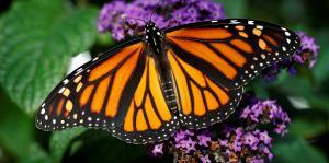 Monarca bella