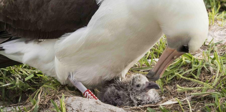 Albatros más vieja del mundo empolla cría en atolón Midway (horizontal-x3)