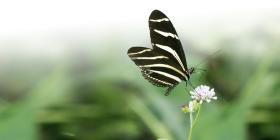Científica boricua estudia patrón de la mariposa cebra