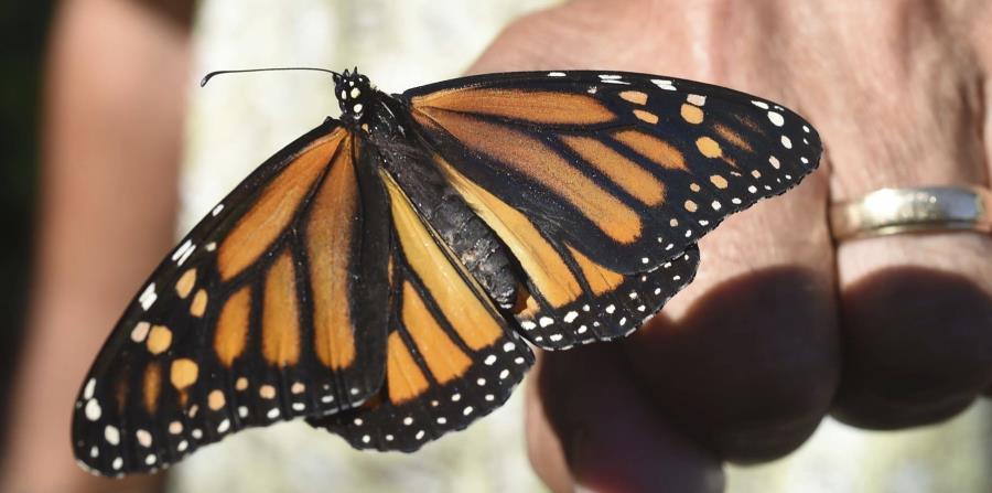 un recuento de mariposas para ayudar a los expertos a evaluar el estado de la vida silvestre. (AP) (horizontal-x3)