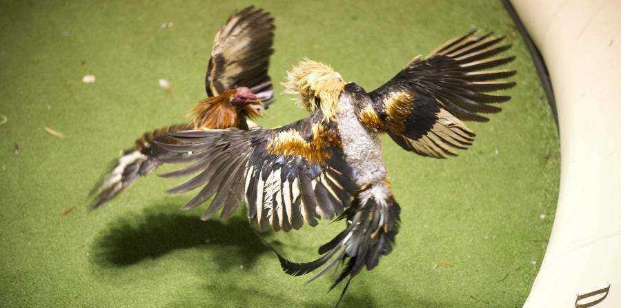 Imagen de una pelea de gallos. (GFR Media) (horizontal-x3)