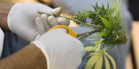 Estados Unidos podría negar solicitudes de naturalización por uso de marihuana