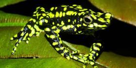 Reaparece una especie de rana venenosa que se creía extinta desde hace 30 años