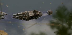 Avión detiene su aterrizaje en Orlando por un caimán en la pista