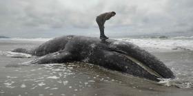 Estados Unidos se queda sin espacio para ballenas muertas