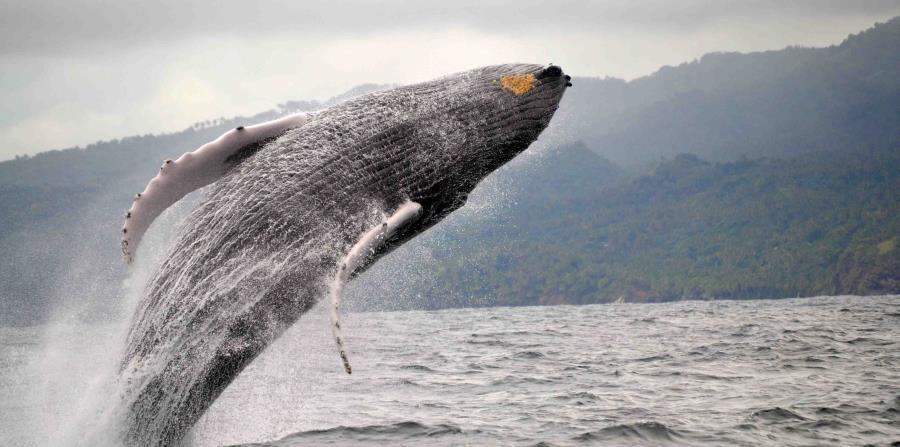 Impresionante salto de una ballena jorobada en las aguas de Samaná. (Ministerio de Turismo de República Dominicana)