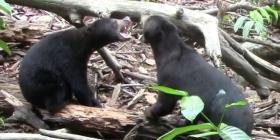 Los osos imitan los gestos, como los humanos y los gorilas