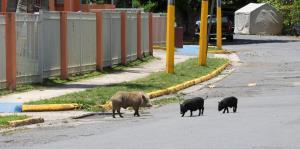 Piden cautela con los cerdos vietnamitas