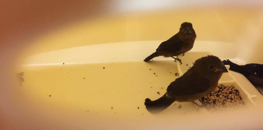 Unas de las aves incautadas. (AP)
