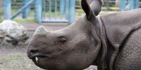Nace en Miami primer rinoceronte indio por ovulación inducida e inseminación