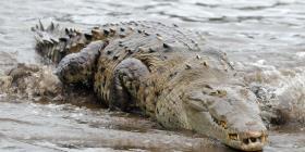 Residentes de una comunidad dominicana atrapan a un cocodrilo y lo sacrifican