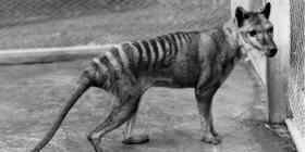 Reportan avistamientos de Tigre de Tasmania
