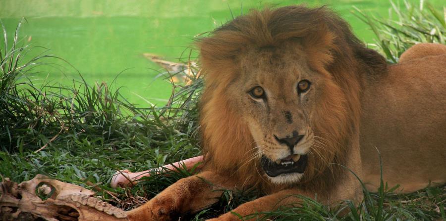 Según el ministerio checo de Medio Ambiente, en el país centroeuropeo hay numerosos zoos privados, donde viven 44 leones, 49 pumas, 20 tigres y ocho leopardos. (EFE / Archivo) (horizontal-x3)