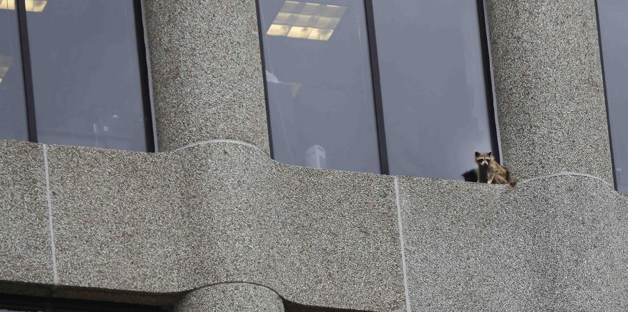 Un mapache se ve varado en la cornisa de una oficina en la torre de oficinas UBS Plaza en St. Paul, Minnesota. (horizontal-x3)