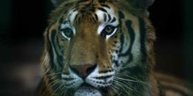 El refugio natural más grande de los tigres de Bengala está en riesgo