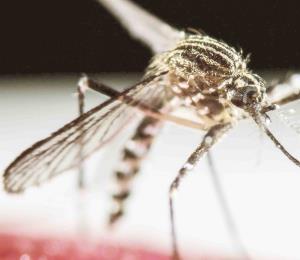 """¿Una infección """"venérea"""" contra el dengue?"""