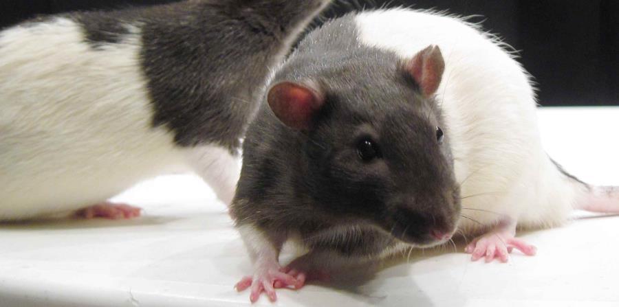 La infección se adquiere a través del contacto con agua estancada y suelos contaminados con orina de animales reservorios, como son las ratas y otros animales de las especies canina y porcina. (horizontal-x3)