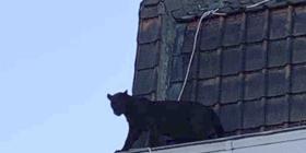 Una pantera negra pasea sobre tejados del norte de Francia
