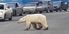 Oso polar busca comida en una zona industrial en Siberia