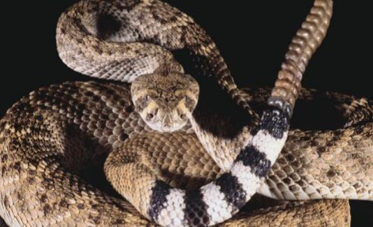 Según la Comisión para la Conservación de la Pesca y la Fauna, en verano es cuando más se registran casos de mordidas porque las serpientes salen a tomar sol. (GFR Media) (horizontal-x3)
