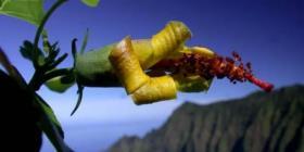 Esta es la flor que se creía extinta y aún habita en Hawai