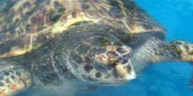 Las poblaciones de tortugas marinas disminuyen rápidamente