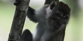 Siete nuevas especies de monos están bajo amenaza de extinción