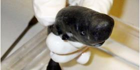 Descubren una diminuta nueva especie de tiburón que brilla en la oscuridad