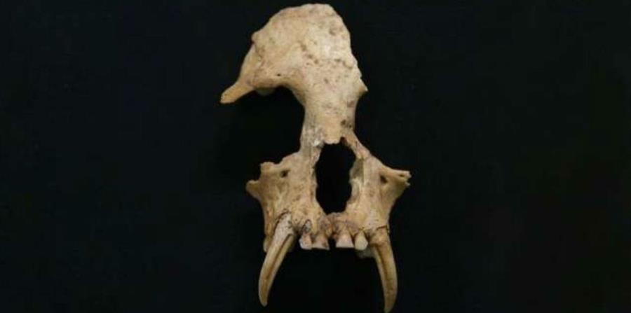 cráneo del Junzi imperialis (horizontal-x3)