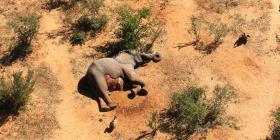 """Botsuana investiga """"muertes misteriosas"""" de 275 elefantes"""