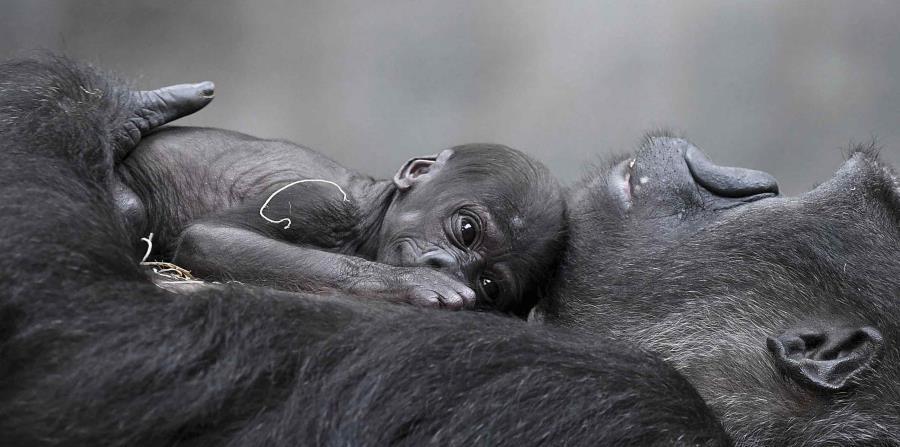 El Zoológico de Brookfield informó el jueves que un donante eligió el nombre del gorila occidental de tierras bajas que nació el 1 de junio. (horizontal-x3)