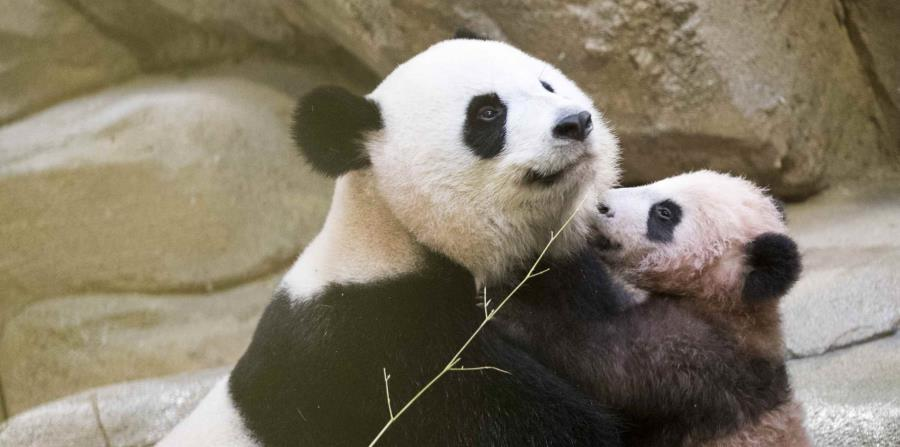 El bebé panda, Yuan Meng, junto a su madre (horizontal-x3)