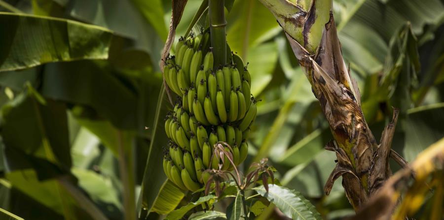 Se roban 700 plátanos, chinas y limones en Dorado | El ...
