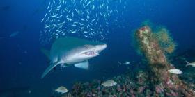 """Una investigación revela la """"peculiar"""" dieta de los tiburones tigre"""