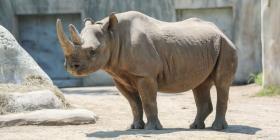 Anuncian el embarazo de una rinoceronte negra, una especie en peligro de extinción