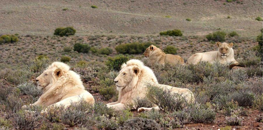 Las autoridades piensan que una manada de leones encontró el cuerpo y lo devoró, dejando apenas el cráneo y unas piezas de ropa. (EFE / Liesl Eichenberger) (horizontal-x3)