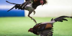Así transcurre una pelea de gallos