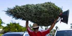 Reportan otro año con poca oferta de árboles navideños