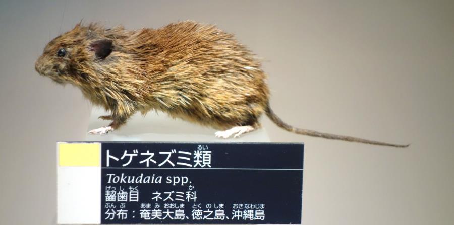 Esta especie de roedores, denominada Tokudaia osimensis, vive en unas islas de Japón y se encuentra en peligro de extinción debido a la destrucción de su hábitat. (horizontal-x3)