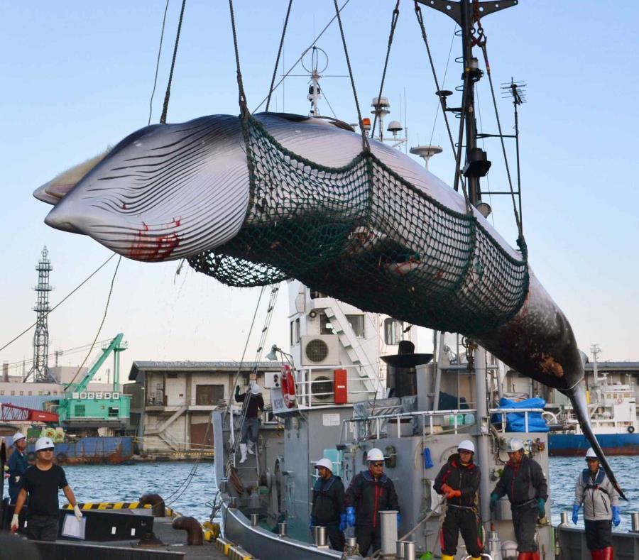 Es oficial: Japón retomará abiertamente la caza comercial de ballenas