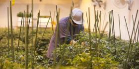 Defienden las gestiones de la Junta Reglamentadora de Cannabis