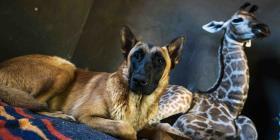 Muere la jirafa que se hizo amigo de un perro