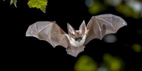 Los murciélagos: resistentes a los virus, pero no a los humanos
